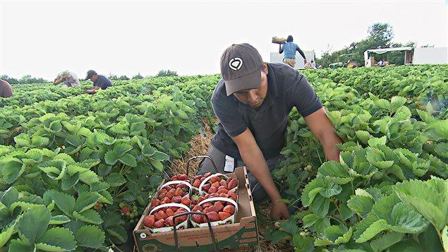 Un trabajador agrícola temporal en Canadá