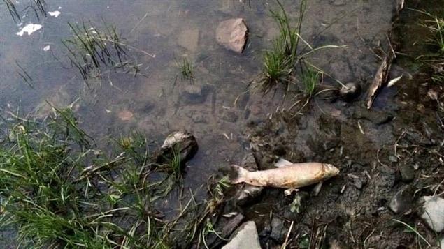 Plusieurs ménés ont été trouvés sans vie dans la rivière Yamaska, tout comme des poissons de 15 à 20 centimètres de long.