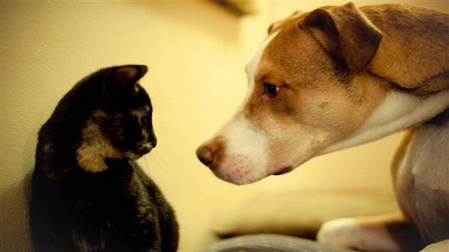 Un chat et un chien de type pit bull.