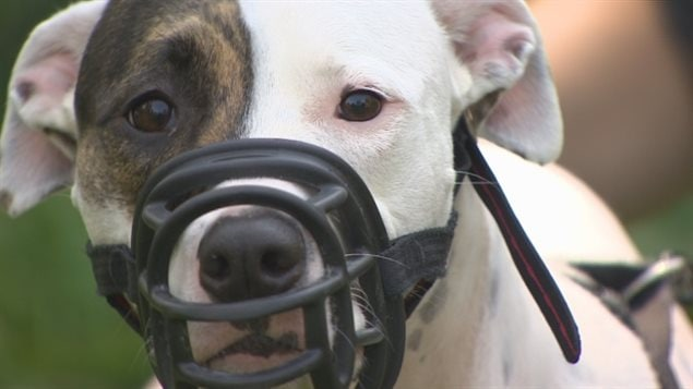 Several municipalities in Quebec, and the province itself are planning to ban or restric pit bulls and related breeds following a number of attacks in recent years, including the mauling death of a woman near Montreal last month