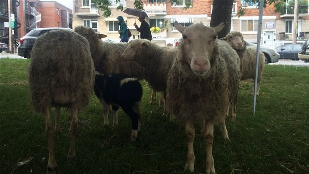 The sheep will eliminate noisy, carbon spewing gasoline mowers. The sheep 'emissions' meanwhile become great fertilizer and will be distributed in Montreal community gardens.