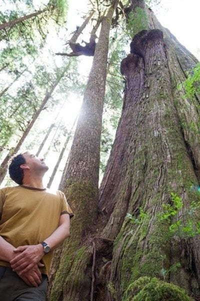 Some of the trees are up to 80 metres tall and create their own ecosystems within the old forests.