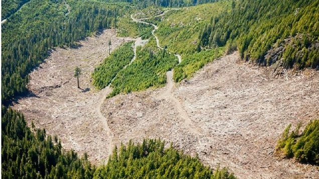 Clear cutting on Vancouver Island. *Big Lonely Doug* a Douglas Fir has been left alone. Smaller second growth can be seen nearby.