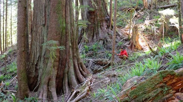 Unprotected old growth trees in a Teal Jones forestry company cutblock area. Some of the trees on Canada's west coast date back as much as 1,000 years