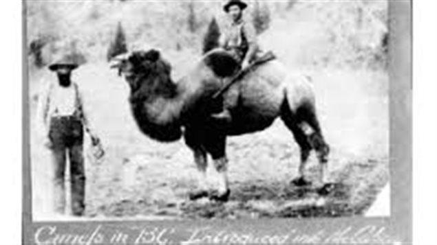 Des chameaux en C-B, en 1862