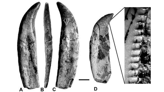 Various views of a maxillary (upper jaw) tooth ABC,  and another maxillary D with close-up showing serated edge helping to cut through flesh.