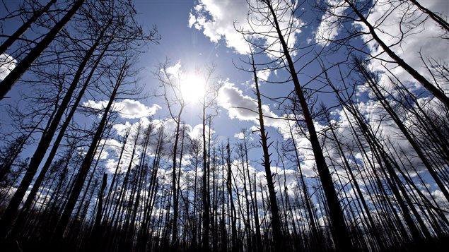 Des arbres calcinés à Fort McMurray en Alberta