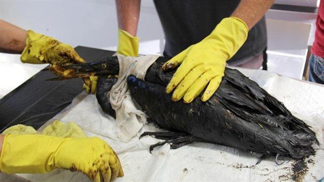 Comme cet oiseau couvert de pétrole et recueilli par un refuge pour animaux à Maidstone en Saskatchewan, beaucoup d'animaux sont exposés aux effets de la pollution et des changements climatiques aujourd'hui et ils ont besoin d'une plus grande protection