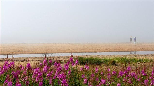 De la salicaire pourpre le long de la plage, � Sept-�les