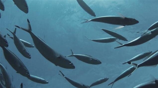 Un banc de poissons fourrage