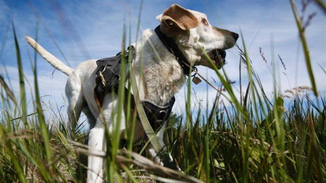 Duke, el perro detector de derrames de petróleo en Alberta.