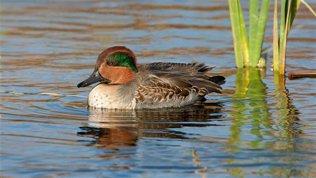 The green-winged teal is one of billions of migratory birds that depend on the boreal forest that spans Canada.