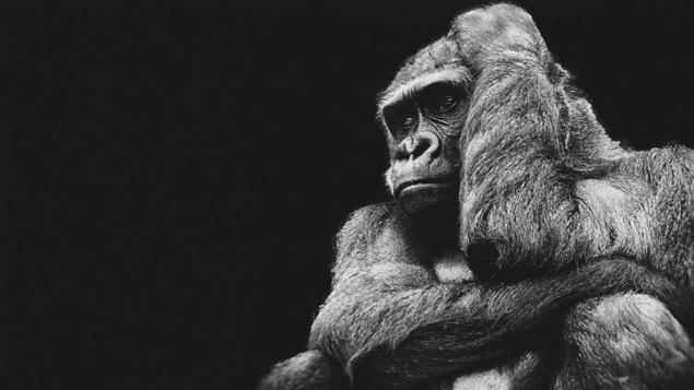 Un gorille