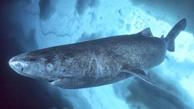 Le requin du Groenland