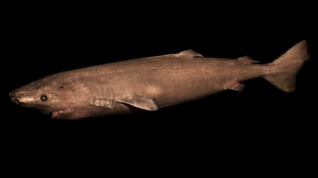 Study of the Greenland sharks' eyes determined that they live between 272 and 512 years.