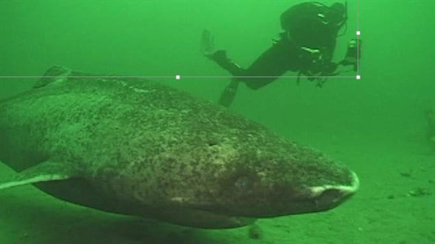 Greenland sharks are quite passive and usually pose little risk to divers studying them.