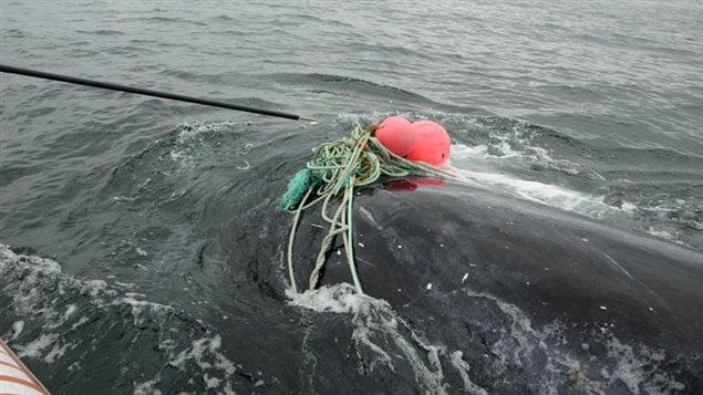 La baleine noire était empêtrée dans un lourd cordage.