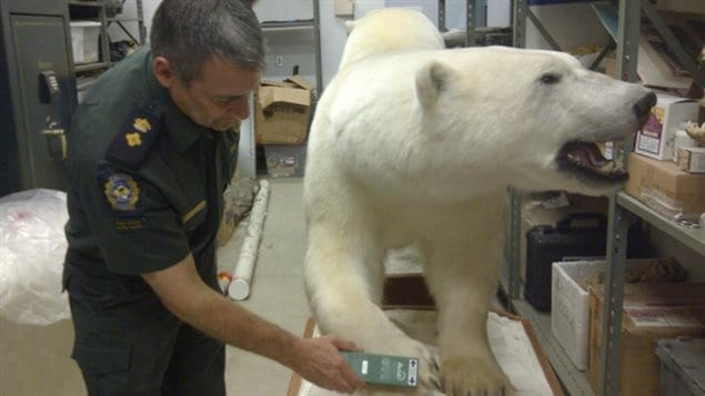 A wildlife officer scans information from a microchip embedded in a polar bear hide.