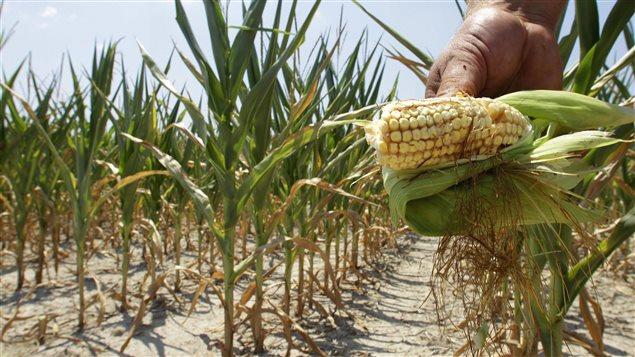 La sechéresse affecte, entre autres, les champs de maïs du continent et par conséquent, l'accès à des aliments de qualité