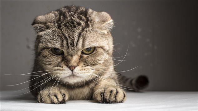 « Le chat, dit Bernard Arcand, se comporte comme s'il connaissait quelque chose que nous ne savons pas. »