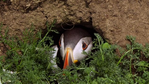 Puffin in its burrow/nest