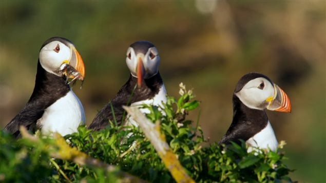 Note the puffin with a beak full of small fish. This year at least one major puffin colony had trouble finding food for their chicks which starved en-masse, A warming ocean is thought to have casued prey fish to move deeper or further away toward colder water.