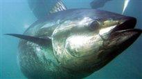 Ottawa n'ajoutera pas le thon rouge à la liste des espèces menacées
