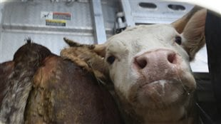 Over 750 million farm animals animals are killed for food every year, virtually all of them transported at least once in their lives. Two million of them die in transport. We see a terrified cow crowded into the back of truck.