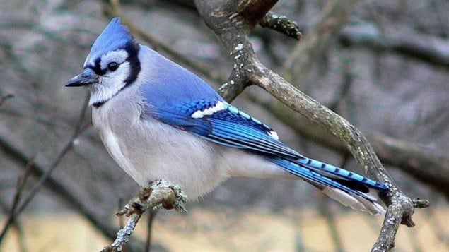 the blue jay is a common sight in Canada, colourful, noisy, resourceful, smart..it's a good choice, but already the provincial bird of Prince Edward Island