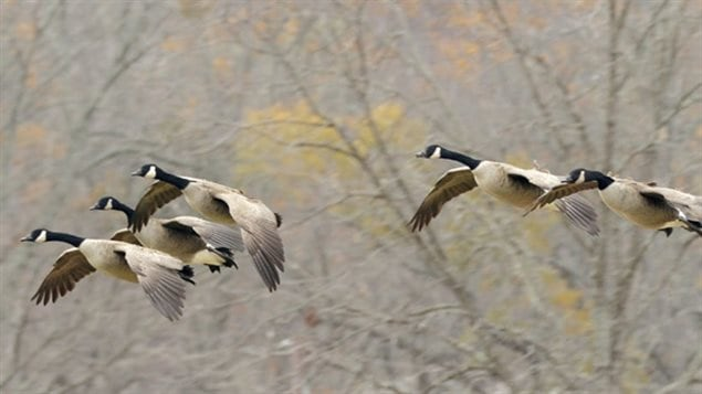 The Canada goose is another popular choice, but are considered large pooping machines by some and they have become so plentiful and adapted to humans and urban settings that they are considered a nuisance in many areas