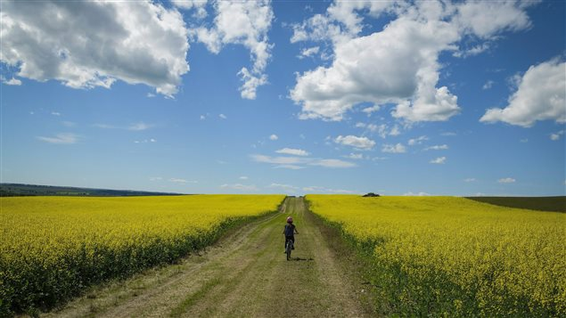 Canola generates one quarter of all farm cash receipts in Canada, says Canadian Press.