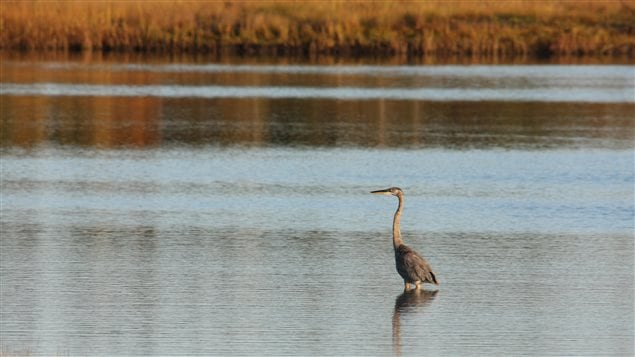 Conserving land on the Tabusintac Estuary in New Brunswick would be good for the climate and good for creatures like the Great Blue Heron, argues the NCC.