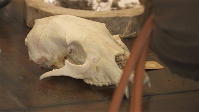 crâne d'un animal