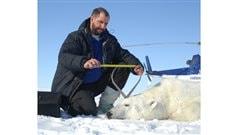 Renowned polar bear expert, professor Andrew Derocher (PhD) of the University of Alberta measures a polar bear on the Beaufort Sea ice in April 2009.