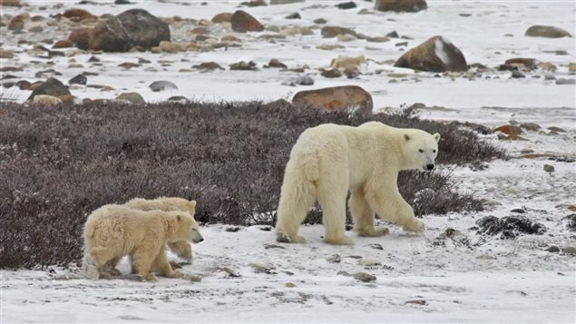 Hudson shore near Churchill, Nov 2015:  Cubs are born in dens in the early spring. They will stay with their mother for about 2 years as she teaches them how to hunt seals.  To do that they must have sea-ice and as the ice free season lengthens more bears will die of slow starvation.