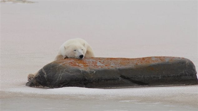 As bears migrate towards the Hudson Bay shore, they try to conserve as much energy as possible while waiting for freeze up. By that time they will have gone months with little or no food. The lengthening summer means more bears will starve