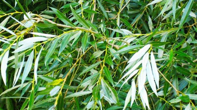 Feuilles du saule blanc (Salix alba), l'une des essences pouvant retarder le viellisement selon l'étude de l'Université Concordia