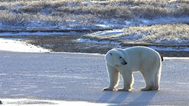 Churchill Manitoba, Nov 2015: A thin bear testing the ice near shore. This new study shows land-based foods can never replace the rich seal meat the bears need. With shorter ice seasons, more bears will starve, and they may disappear from the Hudson region in a few decades.