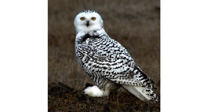 Young snowy owl in Alaska 2006. Adults will lose most of the black tip feathers, esp adult males. This iconic northern species has declined by about 64% since 1970