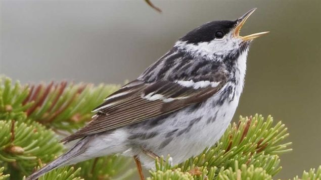 Nearly half of the 1.5 billion breeding landbirds lost since 1970 have been Blackpoll Warblers—borealforest breeders that migrate to the Amazonian lowlands of South America and back each year