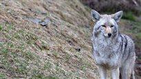 Le coyote, ce nouvel habitant des villes