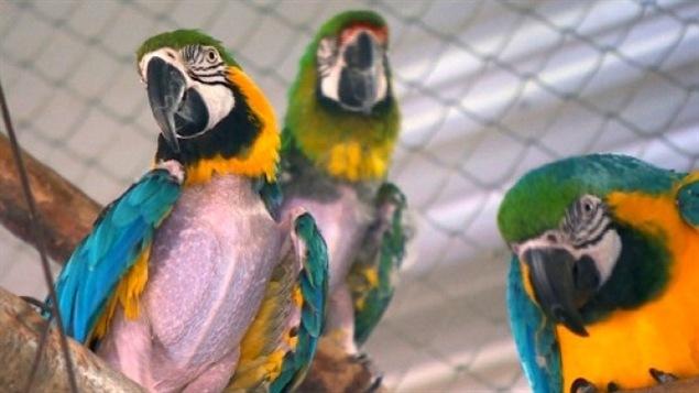Des perroquets
