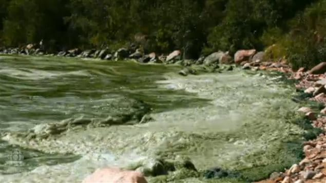 Thick mats of algae wash up on a Lake Winnipeg shore. It is the 11th largest freshwater lake in the world. The change from smaller farms to large factory agri-business operations is part of the cause with run-off from fertilizers and animal waste