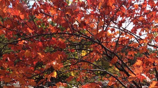 On s'attend à ce que certains arbres se rendent bientôt compte que l'hiver approche à grande vitesse (l'Alberta a déjà reçu trois bordées de neige depuis septembre), et qu'ils se mettent à produire des feuilles or, orange et rouges dès ce week-end dans les régions qui n'ont pas encore connu d'épisodes de gel la nuit.
