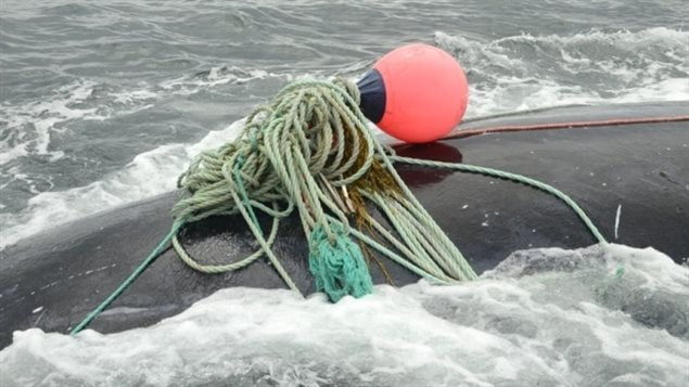 At least two whales have died in September off the coast of Maine after becoming entangled in fishing gear, a third was saved by a special team.