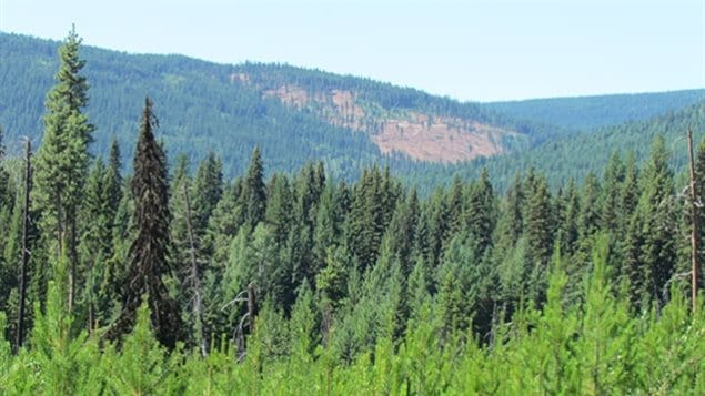 A mixed forest of lodgepole pine and interior spruce. Though two distinct species, they have developed the same genetic solutions to deal with climate change. This limits range of future evolution possibility to deal with coming rapid climate change