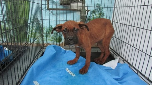 June 2015: Police in Laval Quebec (immediately north of Montreal) released this photo of one of five dogs found wandering in a parking lot. they were malnourished and had wounds leading police to suspect they were used in dogfighting. While dogfighting is illegal, the bill would have added that training dogs to fight would also be illegal. All five of the dogs had to be euthanized.