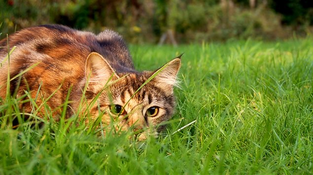 Un chat dans la nature