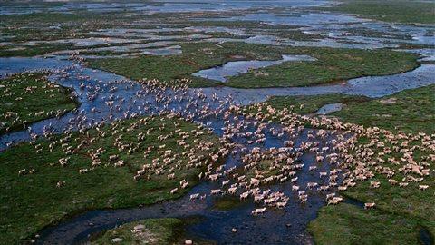 Des caribous migrant à travers la toundra en été autour de la baie d'Hudson. Les troupeaux terrestres qui, autrefois, se chiffraient par centaines de milliers ont diminué de façon spectaculaire, dans de nombreux cas de plus de 90 %.