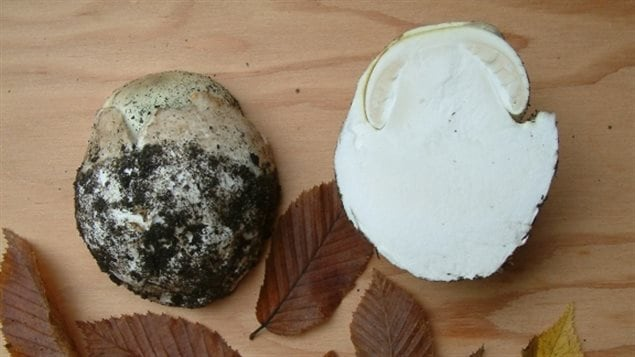 Young death cap mushrooms can resemble puffballs, but when cut open reveal the death cap developing inside.